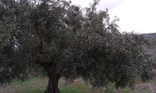 Πωλούνται αιωνόβια ελαιόδενδρα 200 ετών